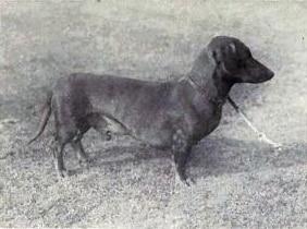 Dachshund von 1915