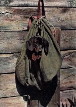 Dackel im Rucksack | Ansichtskarte von 1908