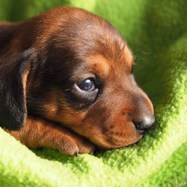 S-Litter of Nella (Miniature Dachshund)