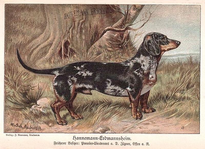 Tigerdackel Hannemann-Erdmannsheim von 1894 | Aus der Zucht des Gründers des Deutschen Teckelklubs