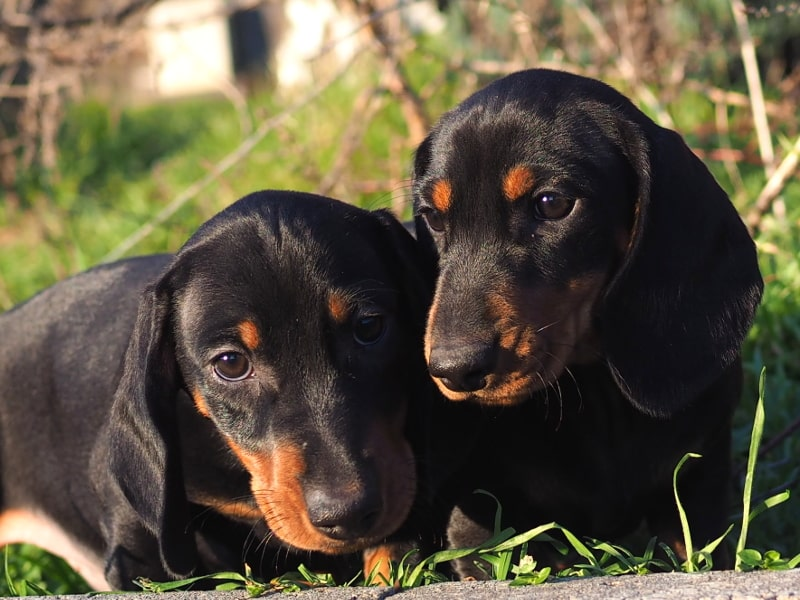 Dachshund Puppy | Black and Tan Bitch