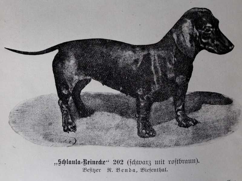 Schlaula-Reinecke (schwarz mit rostbraun). Besitzer: R. Benda, Biesenthal.