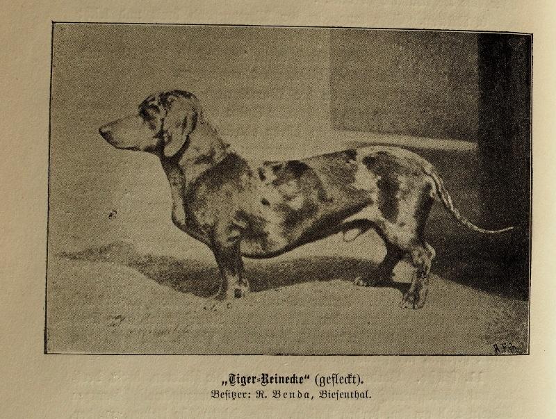 Tiger-Reinecke (gefleckt). Besitzer: R. Benda, Biesenthal
