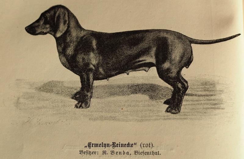 Ermelyn-Reinecke (rot). Besitzer: R. Benda, Biesenthal.