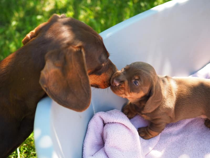 Brown Dachshund Puppies | I-Litter of Engels Fiorenza