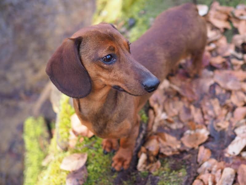 Botzensteiners Enzo | miniature dachshund (smooth haired)