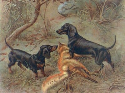 Teckel Frigga und Widar um 1905 | Sieger über den erlegten Fuchs