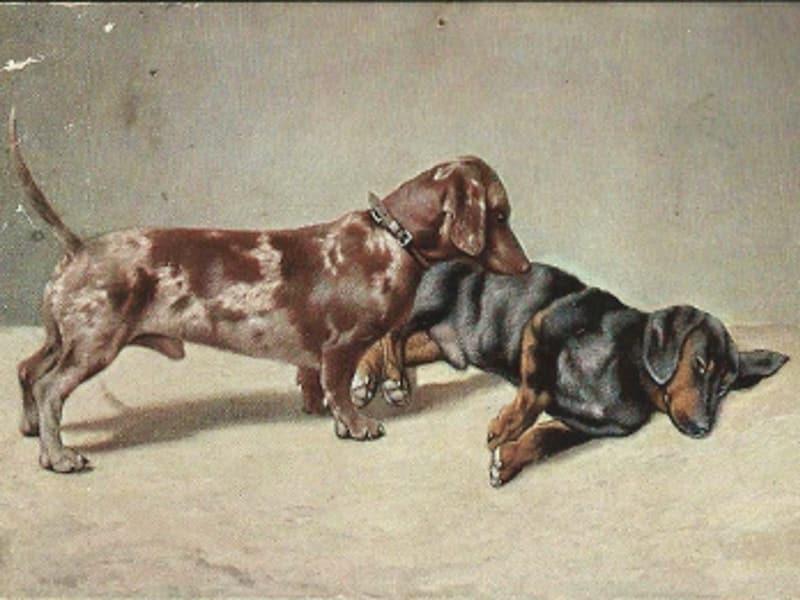 brauner Tigerdackel (kurzhaar) | Postkarte von 1913
