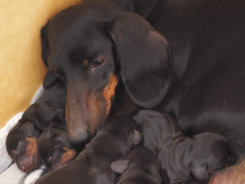 Miniature Smooth Dachshund Puppies | F-Litter of Hatschepsut