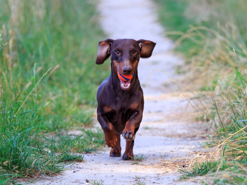 Engels Fiorenza | brown smooth haired dachshund