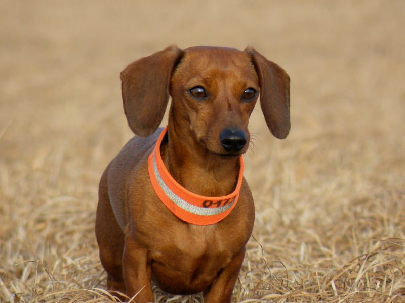 Germandachs Nella Bella (Miniature Smooth Dachshund) | January 2014