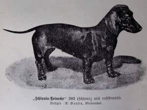 Schlaula-Reinecke (schwarz mit rostbraun). Besitzer: R. Benda, Biesenthal
