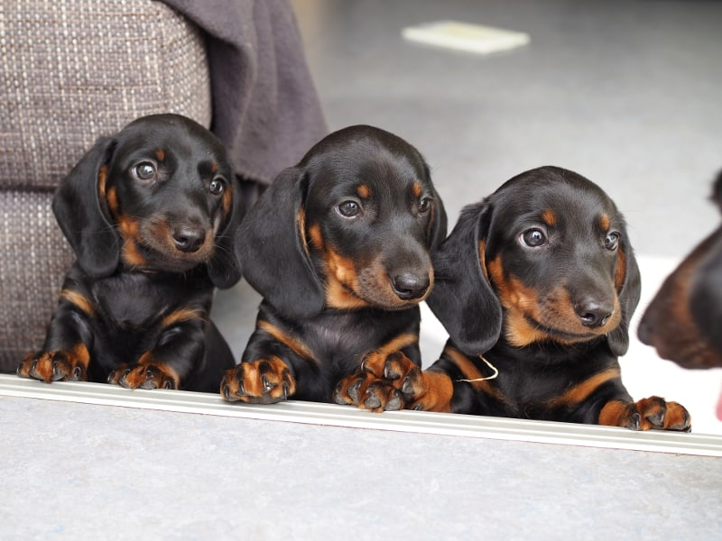 Miniature Smooth Dachshund Puppies | F-Litter of Engels Hatschepsut