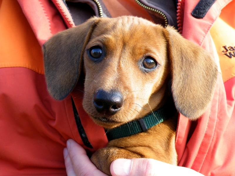 Germandachs Nella Bella (miniature smooth dachshund) | November 2011
