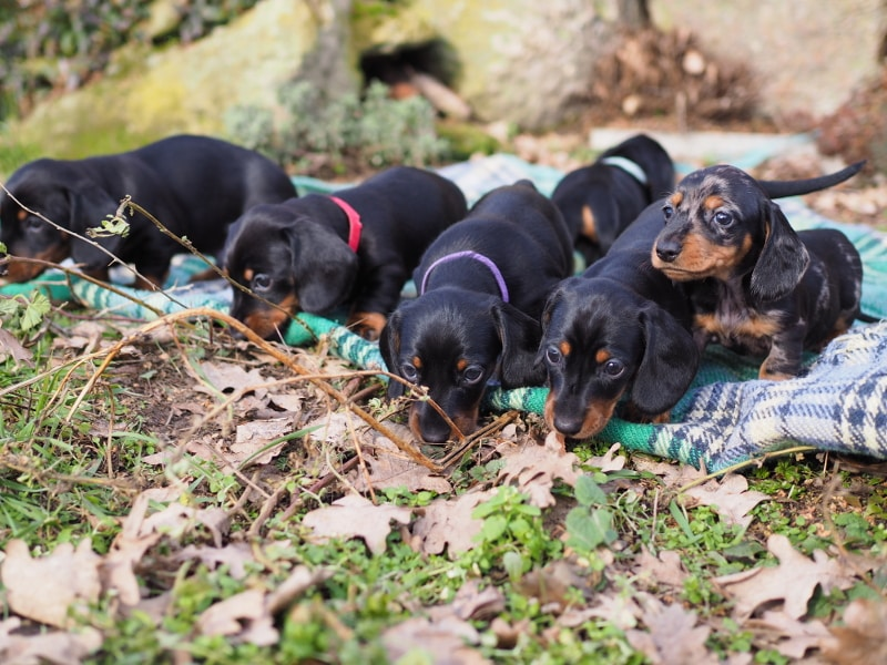 Miniature Dachshund Puppies | M-Litter of Frollein