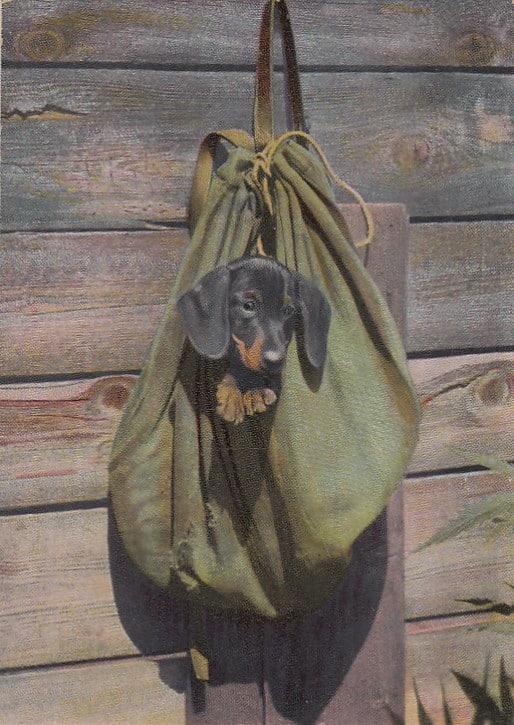 Dackel in einer Jägertasche | Ansichtskarte (1908)