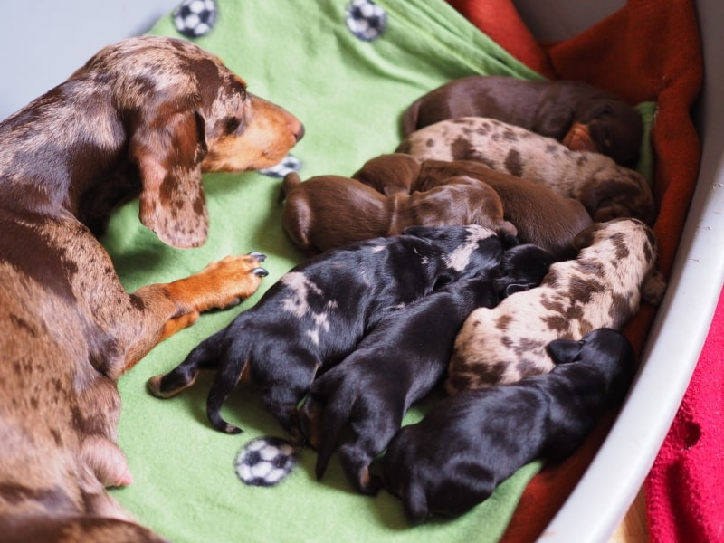 Smooth Haired Dachshunds (Standard-Size) | Big Bad Woof Empire of Glory (FCI) x Botzensteiners Lieselotte | November 7th, 2020
