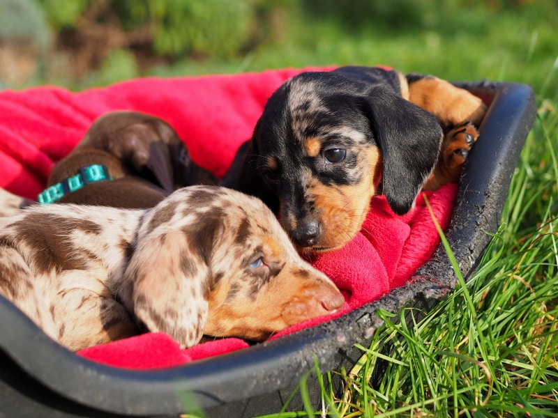 Smooth Haired Dachshunds (Standard-Size) | Big Bad Woof Empire of Glory (FCI) x Botzensteiners Lieselotte | November 7th 2020