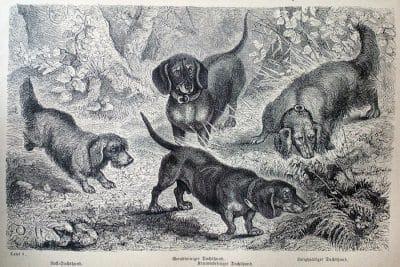 Fitzinger, L. J.: Der Hund und seine Racen, Tübingen 1876.